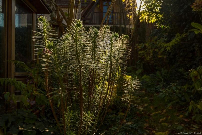 L'euphorbe characias