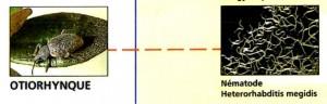 Coleoptère -Tableaux de lutte biologique