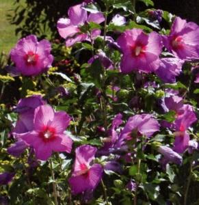 Hibiscus-herbacés