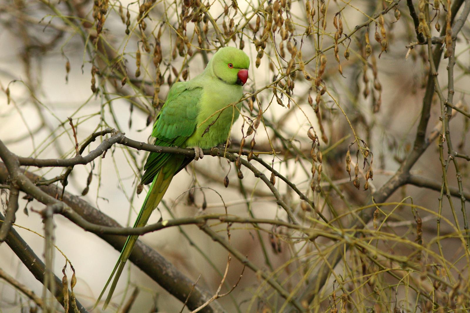 Perruche à collier assise sur un frêne